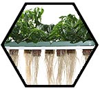 Aeroponics systems provide plant roots with extra oxygen which promotes a higher rate of metabolism and and overall plant growth